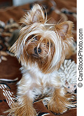Beautiful Yorkshire Terrier.