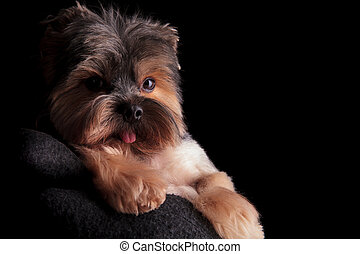 beautiful yorkshire terrier