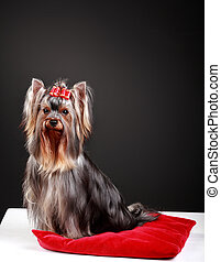 Beautiful yorkshire terrier on black background