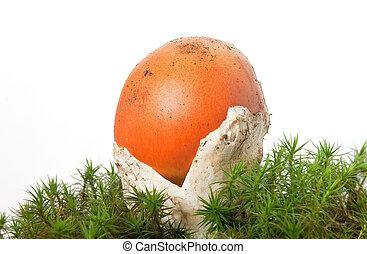 Amanita Caesarea mushroom - beautiful young Amanita Caesarea...
