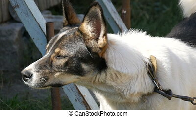 Beautiful young black and white dog in the yard on chain -...