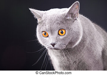 beautiful young British blue cat on black