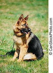 Beautiful Young Brown German Shepherd Dog Sitting In Green Grass