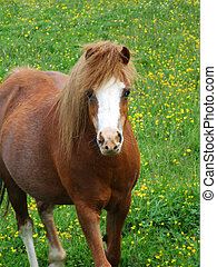 Beautiful, young, brown horse in the meadow of buttercups
