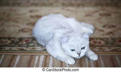 beautiful young cat breed Scottish chinchilla straight -...