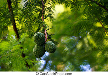 Beautiful young cones on a tree branch in a park or garden.
