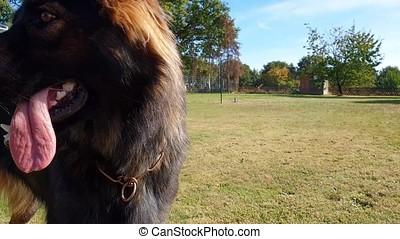 Beautiful young german shepherd dog curious looking at the...