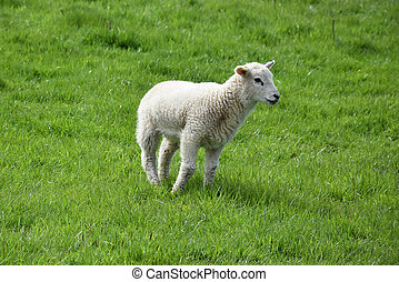 Beautiful Young Lamb Standing in a Grass Field