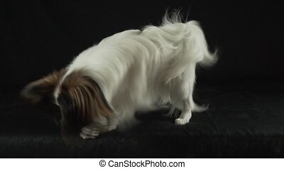 Beautiful young male dog Continental Toy Spaniel Papillon is...