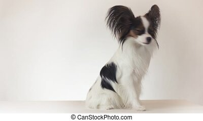 Beautiful young male dog Continental Toy Spaniel Papillon...