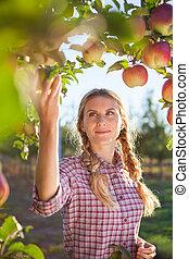 Beautiful young woman picking ripe organic apples