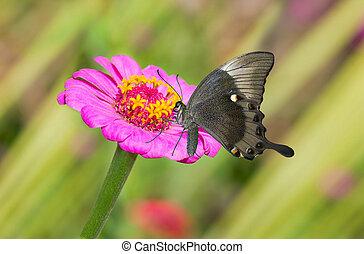 Zinnia flower in pair with black butterfly in a summer garden