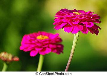 beautiful zinnia flowers in autumn garden