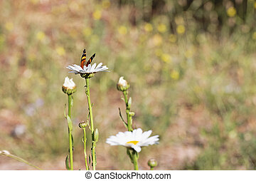 Beautifull Butterfly perched on the highest flower of a group of garden daisies