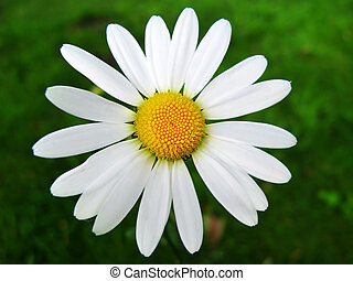 Chamomile flower. - Beautifull Chamomile flower. Anthemis...
