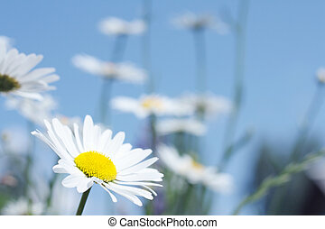 Beautifull white flower (Camomile) in sunny day