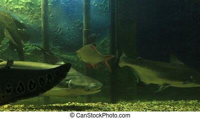 Beautifully decorated aquarium with freshwater fish. -...