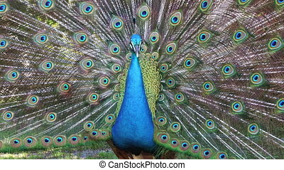 Male peacock displaying his colorful feathered tail close-up