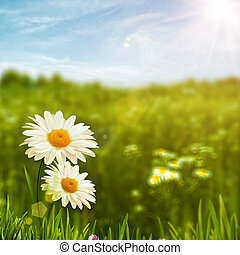 Beauty daisy flowers on the meadow, environmental backgrounds