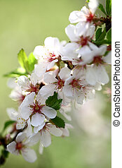 Beauty flowers of apple
