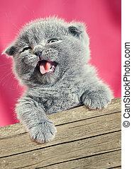 Beauty from the box. Scottish fold cat. Baby animal portrait