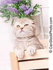 Scottish fold cat. Baby animal portrait
