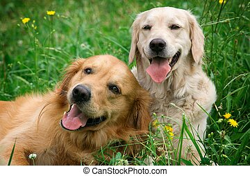 beauty, honden, jonge, verticaal, twee