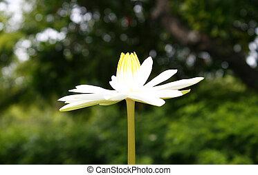 Beauty lotus flower