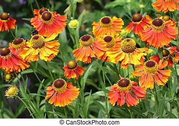 beauty', 'moerheim, helenium