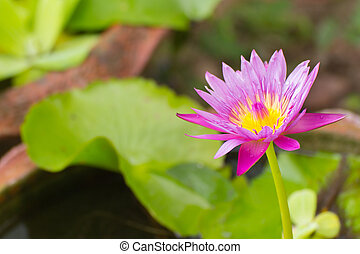 Beauty purple lotus flower close up