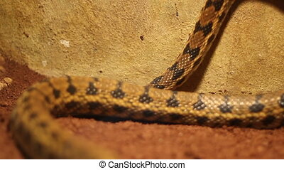 Beauty Ratsnake Crawling - Moving beauty ratsnake. The...