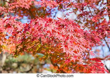 Beauty red autumn maple