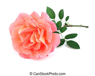 Beauty rose with leaves