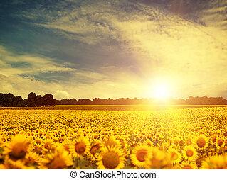 beauty sunflowers under blue skies and golden evening sun, envir