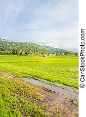 beauty sunny day on the rice field