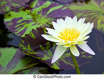 Yellow lotus in pond with leaf