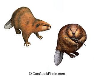 Beaver. Adult beavers
