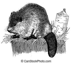 Beaver Castor canadensis Pen-and-Ink Drawing