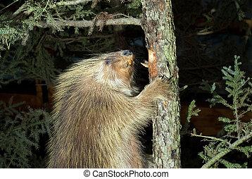 Beaver Climbing A Tree