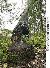 Beaver Cut - A tree cut down by a beaver