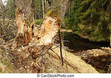 Beaver dam and old trees
