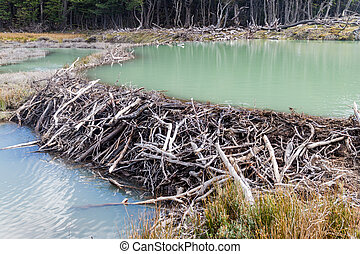 Beaver dam at Tierra del Fuego, Argentina