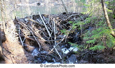 Beaver dam in the forest
