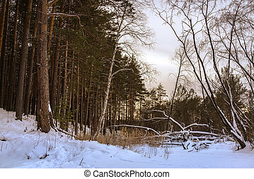 Fallen tree in the winter forest