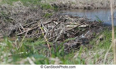 Beaver dam on a small river. HD