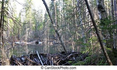 Beaver dam on the lake
