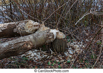 beaver damaged trees