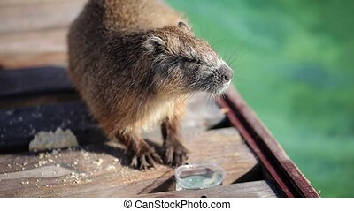 Beaver drinking water from plastic glass outdoors