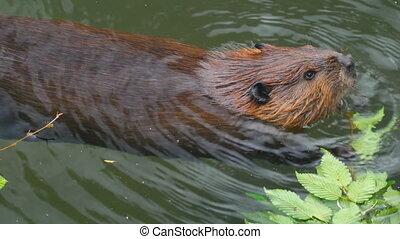 Beaver eat leaves ash - The beaver close up eats green...