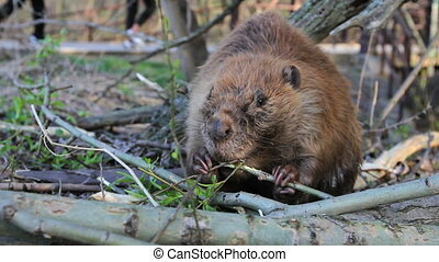 Beaver Eating Branch - The habitat for this busy beaver is...